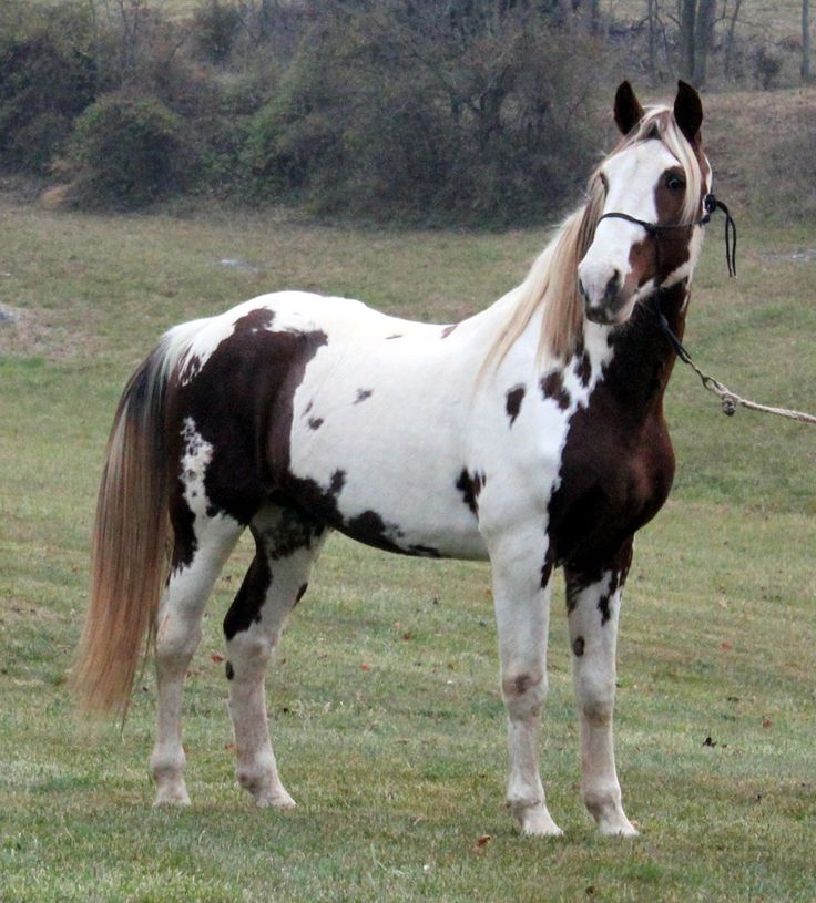 tennesee walker horse foal photo | ... Horse Breeders of Gaited Horses Tennessee Walking Horses Spotted