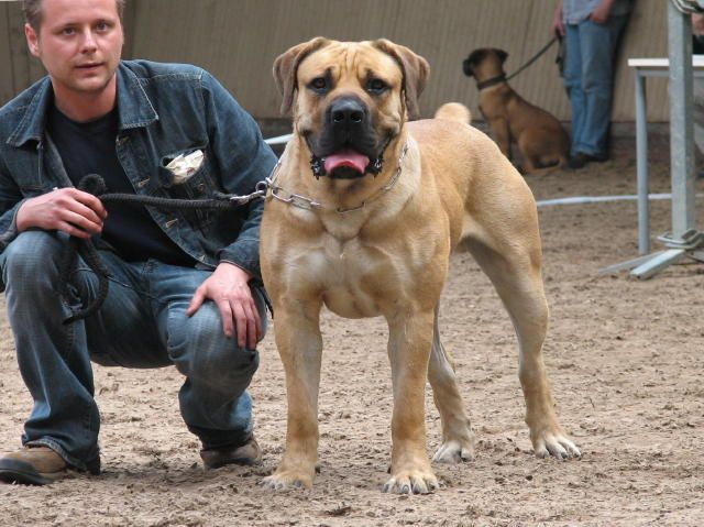 Boerboel: Puppies, Except, Africans Boerboel, Favorite Dogs, South Africans, Families, Beautiful Creatures, Work Dogs, Future Dogs