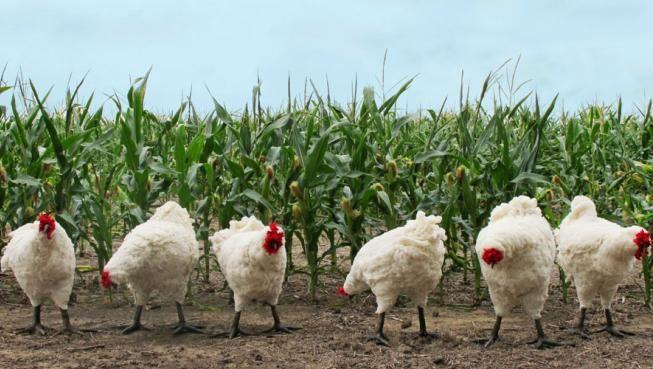 Kansas chickens