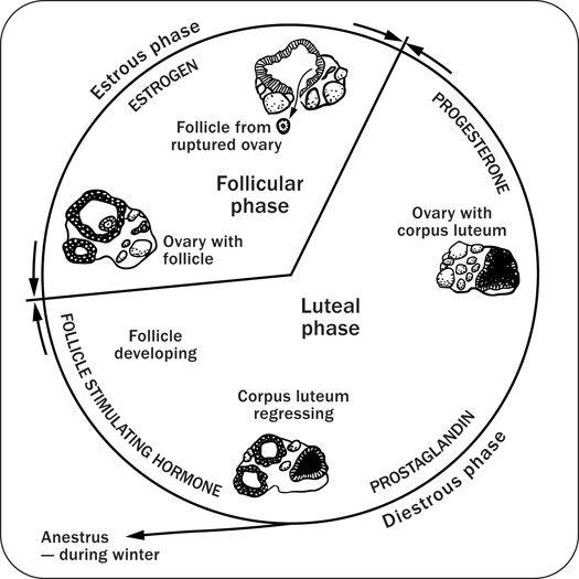 Diagram Depicting The Equine Estrous Cycle