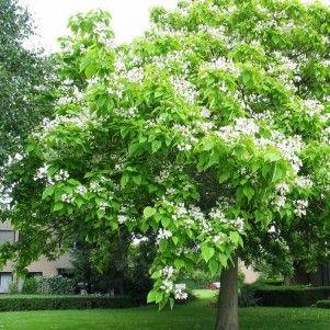 Catalpa Bignonoide C-25 (Catalpa) #árboles #jardín
