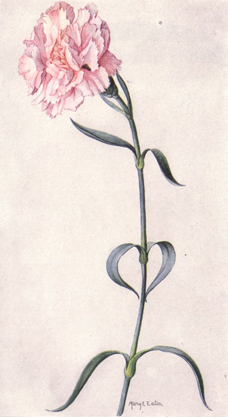 Best 25 carnation tattoo ideas on pinterest for Red carnation tattoo