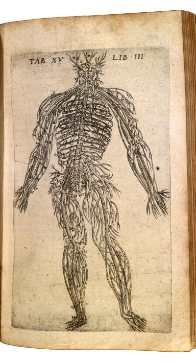 Theatrum anatomicum. Bauhin, Kaspar, 1560-1624. Peripheral nerves of the body.