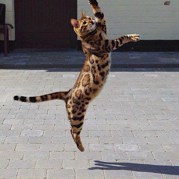 Este es Thor, un gato de Bengala con el más bello pelaje atigrado                                                                                                                                                                                 Más