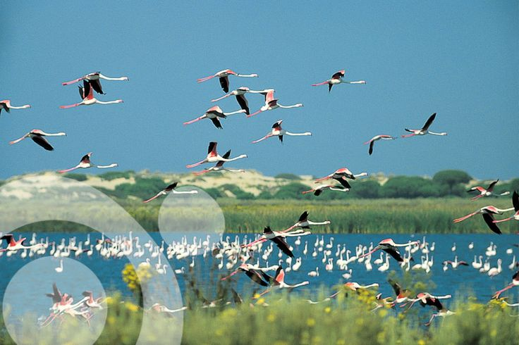 #Birding_in_Spain : Pink flamingos in Santa Olalla lagoon.  More information to plan your trip to #Doñana in www.qnatur.com