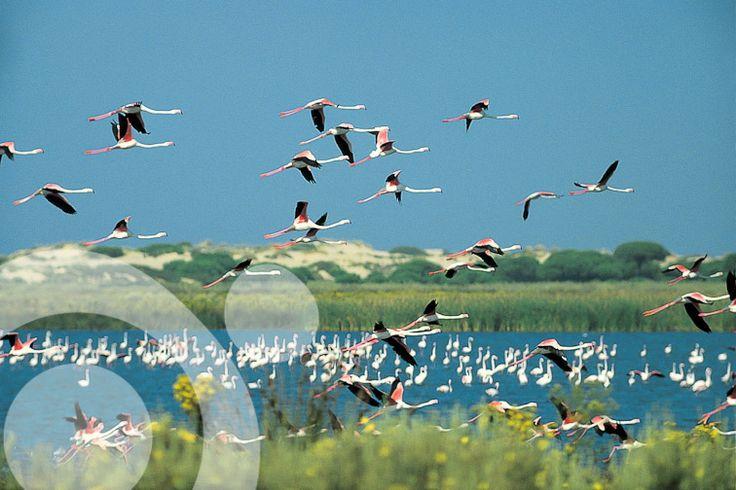 #Birding_in_Spain : Pink flamingos in Santa Olalla lagoon.  More information to plan your trip to #Doñana in www.qnatur.com