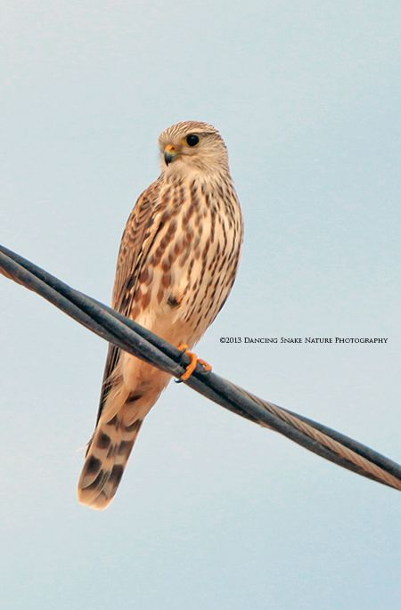 #Birds - The Merlin is a small species of Falcon that