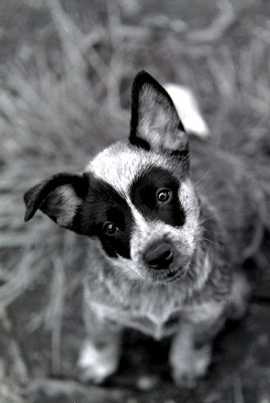purtty cute i love australian cattle dogs