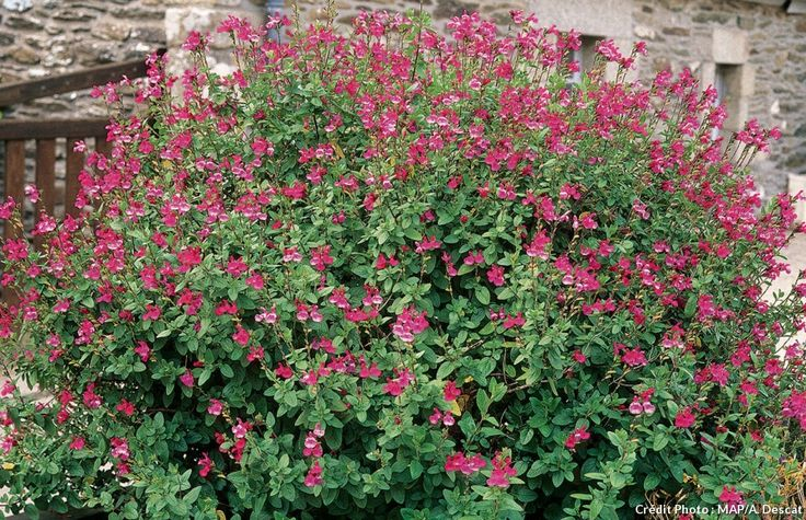 Buisson de sauge à petites feuilles : jolie plante arbustive qui offre une longue floraison du printemps à l'automne et nécessite peu d'entretien.