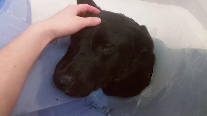 I love my job  #dmv #centre #centredmv #vétérinaire #veterinarian #technician #animals #dog #dogs #skid #skidoo #love #lovehim #cute #sleepy #black #pet #work #working #
