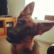 17 Best images about German Shepherd Blog & Website on ...