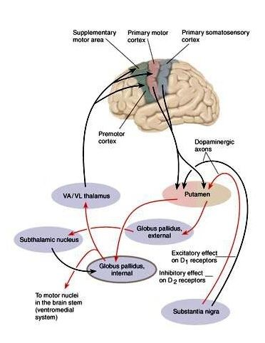 Cortical-basal ganglia pathways. All regions of cerebral cortex project to the basal ganglia, but output of basal ganglia is directed towards the frontal lobe, particularly pre-motor and supplementary motor cortex.
