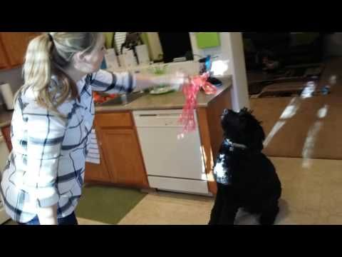 (21) BLACK GOLDENDOODLE IN TROUBLE - YouTube
