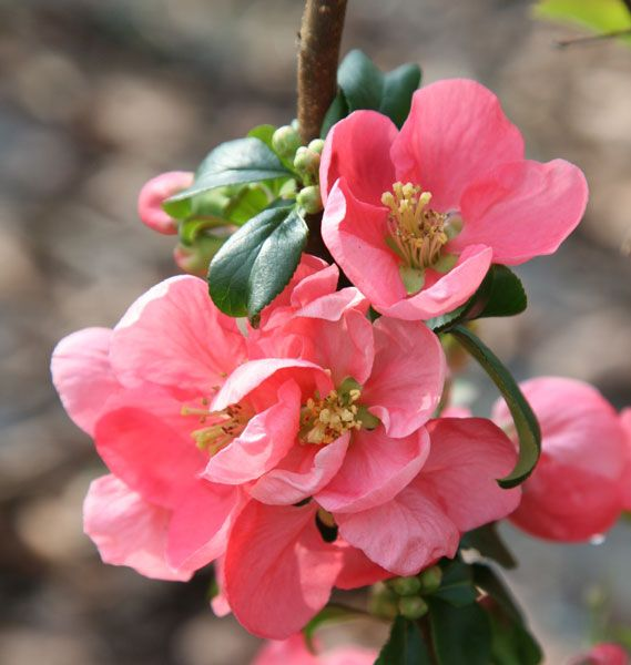 17 Best Images About Quince On Pinterest Rose Family 640 x 480