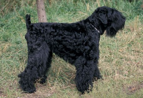 The Black Russian Terrier (BRT) was developed in Russia as a guard dog. They must have a tousled double coal black coat that is coarse in texture. There were AKC recognized in 2004 and range  in size from 26 to 30 inches tall at the shoulder.