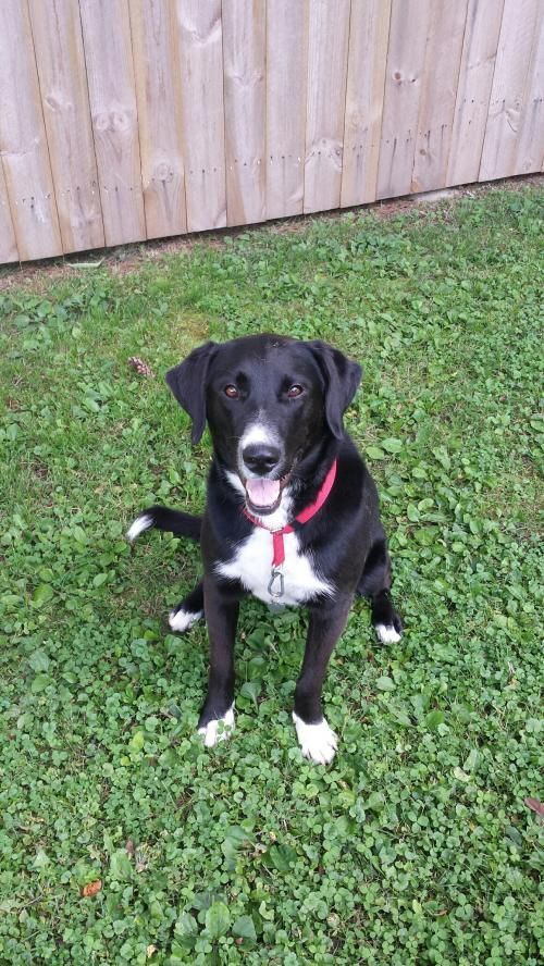 Meet Jozzlynn, a Petfinder adoptable Black Labrador