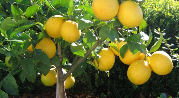 Meyer Lemon Trees Meyer Lemon Tree Lemon Tree Meyer Lemon
