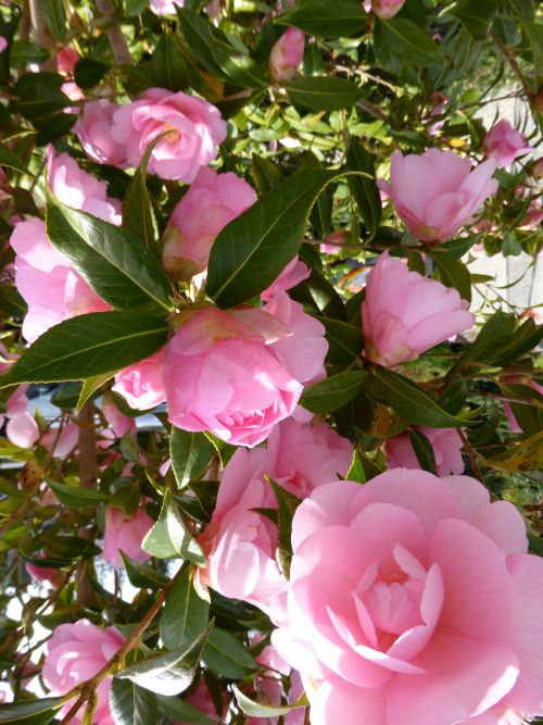 Taylor's Perfection Camellia...a camellia with prolific blossoms
