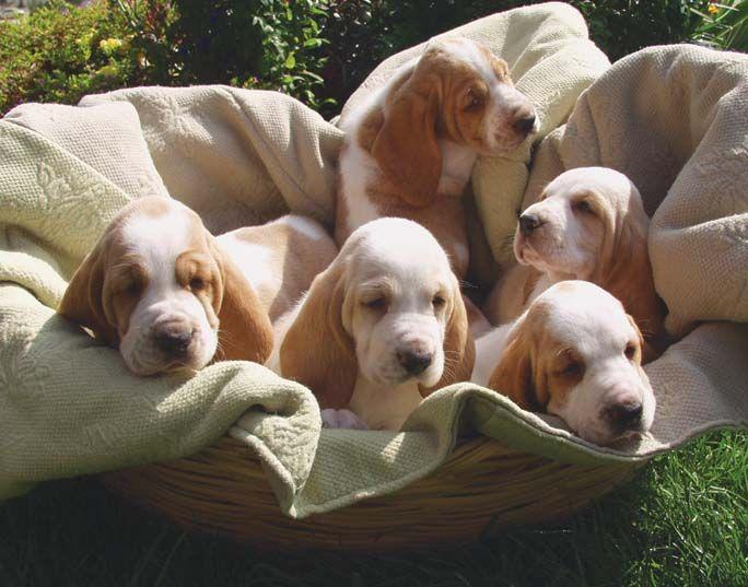 Basset hound puppies-A basket of Bassets!