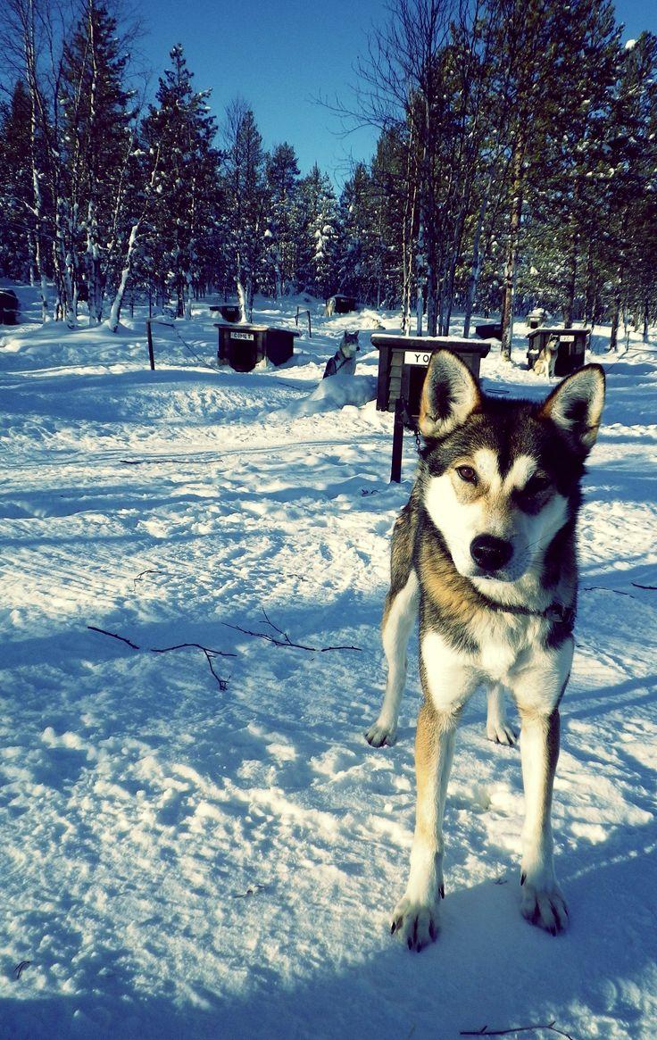 Chien de traîneau. Laponie Finlandaise. by Bartman D.