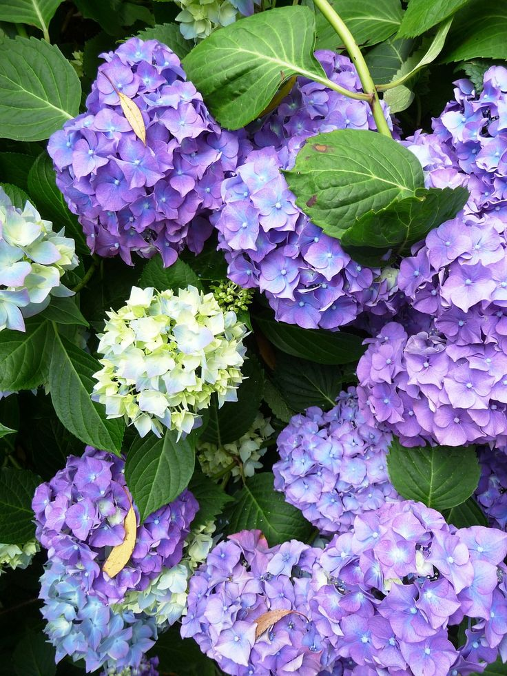 Hydrangeas are one of the most popular perennial garden shrubs, mostly due to their mesmerising big flowers in pink, white or blue color and nice foliage,