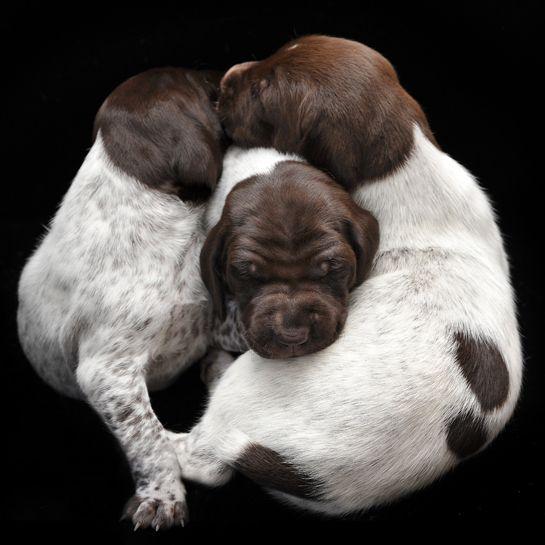 Newborn Puppies - German Shorthaired Pointers: