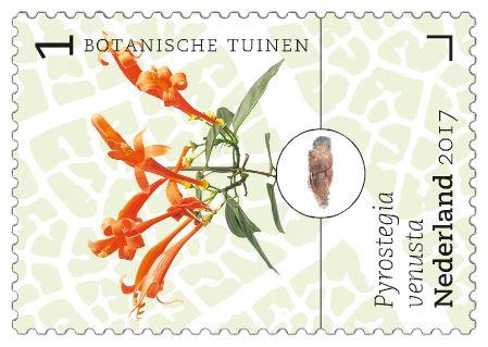 Pyrostegia venusta - Botanische tuinen