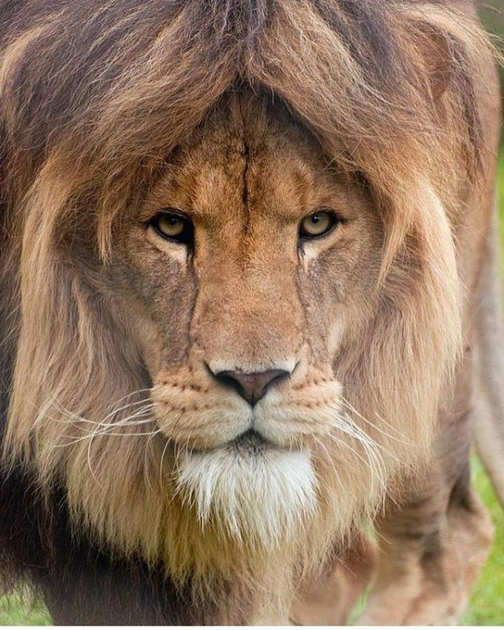 """2,192 Likes, 16 Comments - Animals - Wildlife (@wildlifeowners) on Instagram: """"Handsome King Photo by:©Chris Humphries #wildlifeowners"""""""