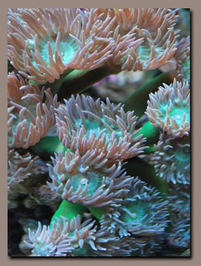 Duncanops Coral  aka Duncan Coral- Single Head (Duncanopsammia axifuga)