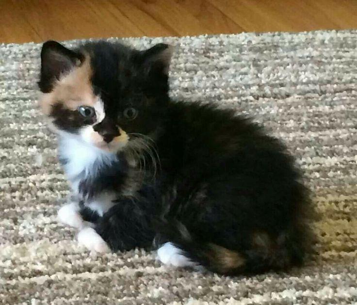Kitten fix. Awwww. Calico kitten 5 weeks old. Up for