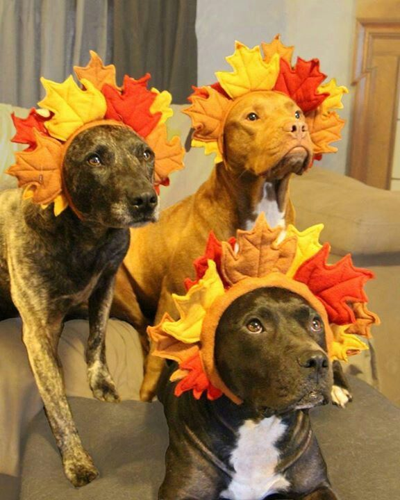 A pit bull Thanksgiving!