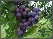 Beach Plum (prunus maritima) - Native to the shores of New Jersey, this plant has many uses in horticulture, beach conservation and stabilization, as well as the variety of products made from its delicious fruit.