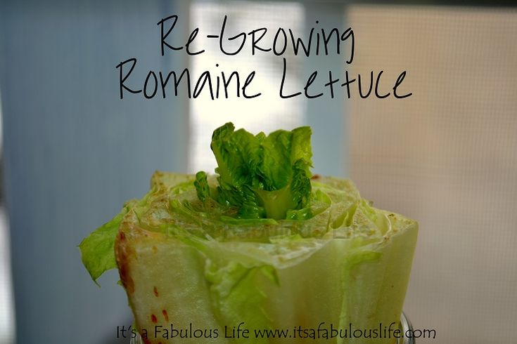 Grow lettuce from leftover scraps. Very thrifty idea!