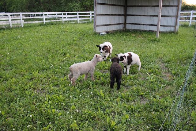 Lamb huddle!