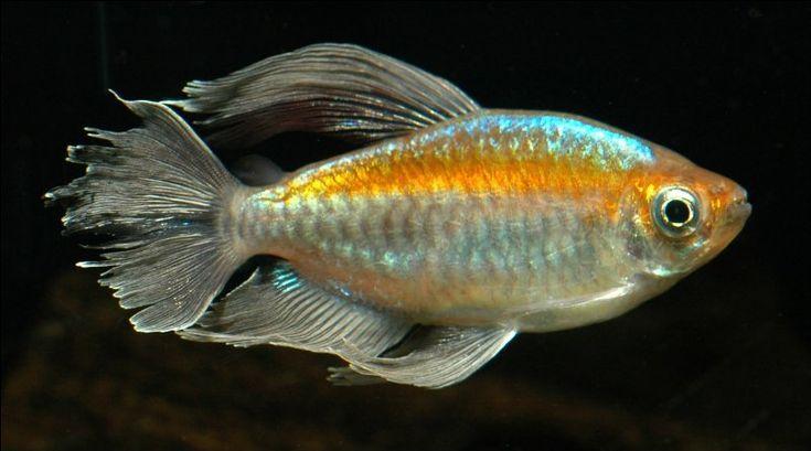 congo tetras congo tetra . Congo tetras and rainbowfish.. Pinte ...