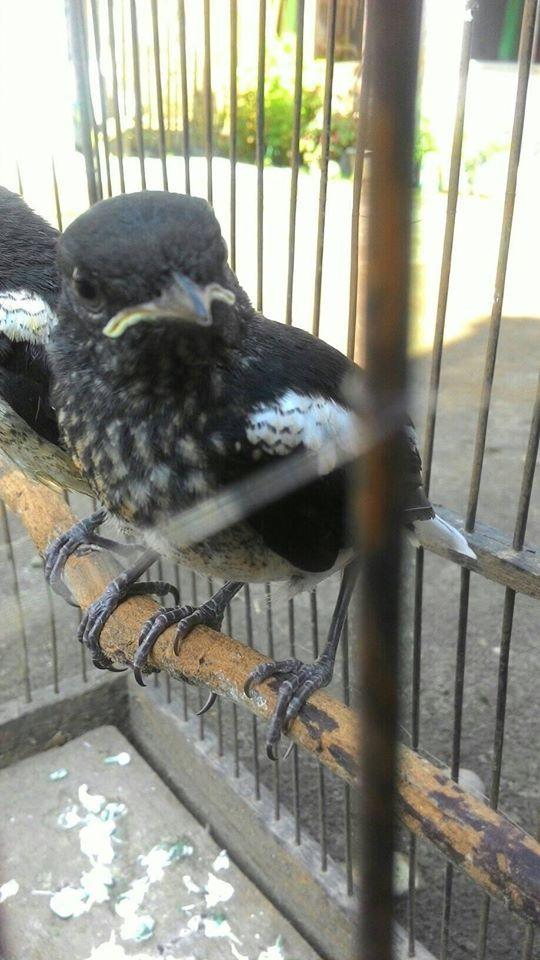 Burung Kacer Vitamin Burung Konsultasi 089506785212 Burung Kenari