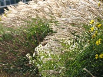 Trawy ozdobne na rabatach i w ogrodowych kompozycjach