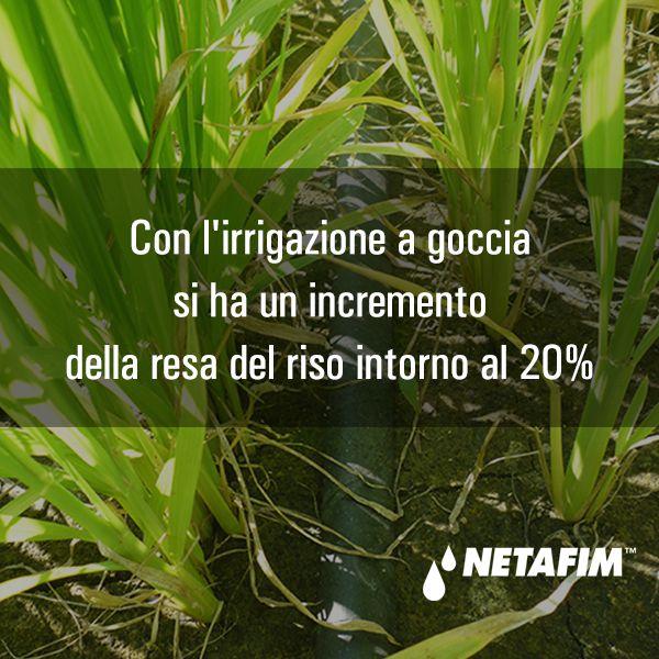 Scopri tutti i vantaggi dell'irrigazione a goccia sui diversi tipi di colture. Contatta un esperto del settore #Netafim per saperne di più. http://www.netafim.it/contact-us
