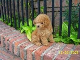 Caniche Toy. Sooooo lovely. Need One !!!