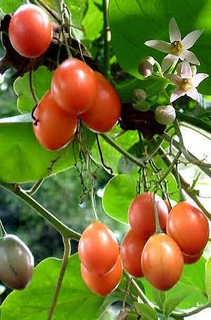 Tamarillo (Solanum betaceum) - The Ecuadorian Orange from Diggers fruited 1.5 years after planting, yielding delicious egg-sized fruits.  The flesh spoons out easily, tastes like a ripe papaya with a touch of persimmon, and requires no additives.