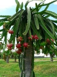 Peut-être avez-vous déjà goûté ce fruit exotique étonnant appelé pitaya ou fruit du dragon... Mais saviez-vous que ce fruit écailleux pousse sur un cactus   Nous vous proposons de découvrir l'Hylocereus undatus, cette plante de la famille des cactées qui donnent les fruits du dragon. par Audrey