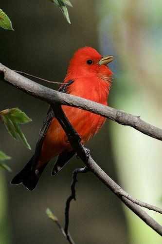 Scarlet Tanager by Daniel J. Field