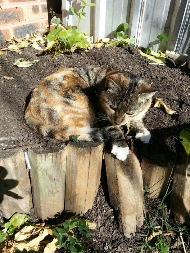 Best place to be on a cold winter morning - in the sweet potato patch on the sunbaked warm dirt :-)