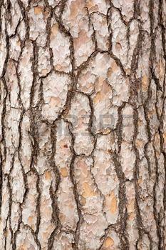 ecorce d arbre: Écorce de pin tronc d'arbre Banque d