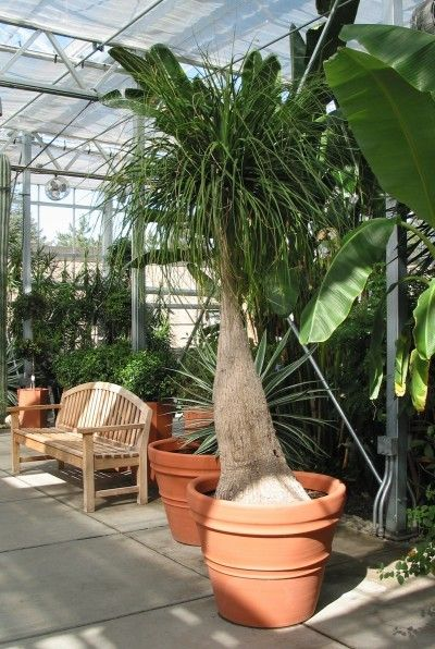 Ponytail Palm Replanting: When And How To Transplant A Ponytail Palm Tree