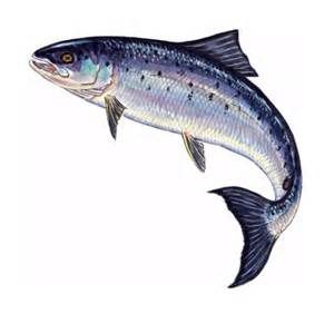 leaping salmon drawings - Yahoo! Image Search Results