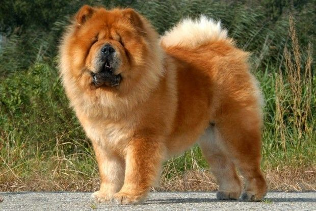 10 Most Beautiful Dog Breeds In The World Most Beautiful Dog