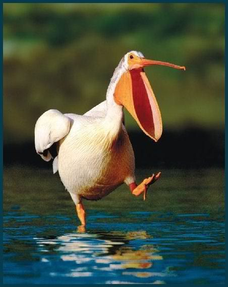 Pelican - (s)he looks as though they're having a good laugh!