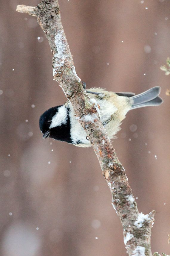 The coal tit (Periparus ater) is a passerine bird in the tit family Paridae. It is a widespread and common resident breeder throughout temperate to subtropical Eurasia and northern Africa.
