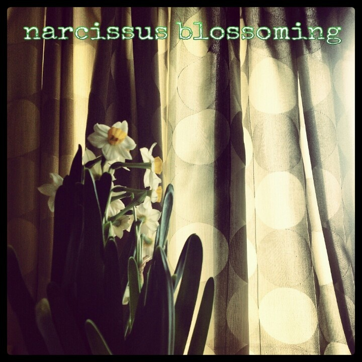 Welcome to the Narcissus Season !